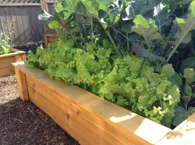 Raised bed with Lettuce