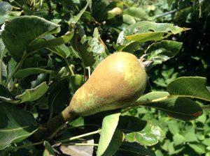 1000 words:  Found Fruit