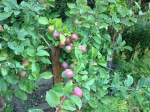 The Value of Your Own Orchard: Growing Amazing Fruit
