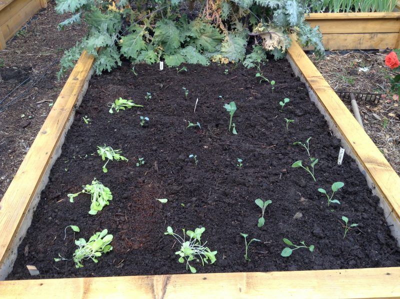 1000 words: raised bed prep and transplanting