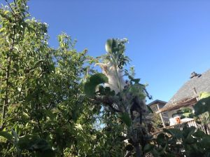 Tent caterpillar on apple tree