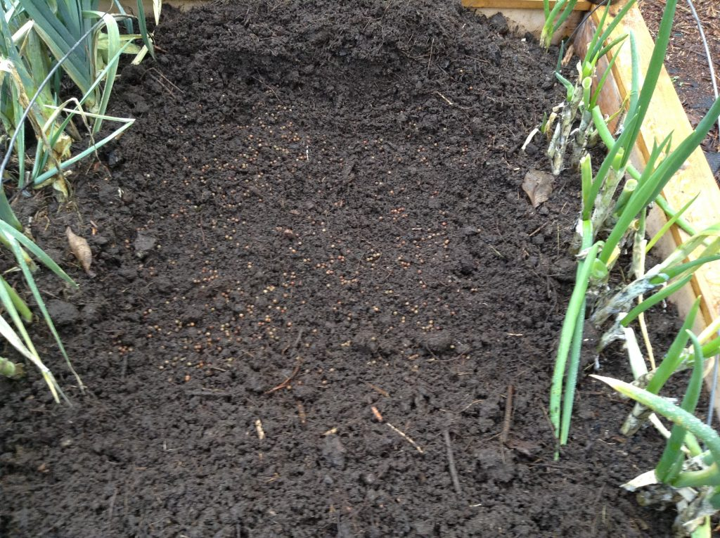 Pea seeds sown