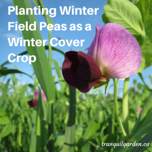 Planting Winter Field Peas as a Winter Cover Crop