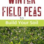 Winter Field Peas