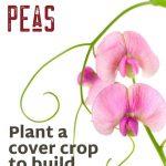 Winter Field Peas