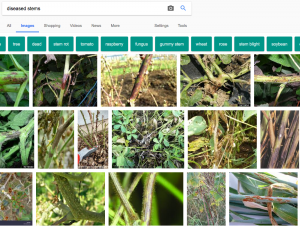 google image search diseased stems