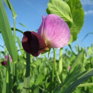 How to Plant Winter Field Peas as a Cover Crop