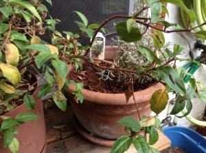 fuchsia to be pruned
