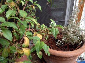 fuschia pruned