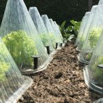 cloches covering lettuce plants