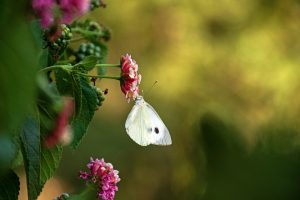 cabbage moth on flower