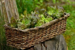 How To Grow Your Own Lettuce At Home