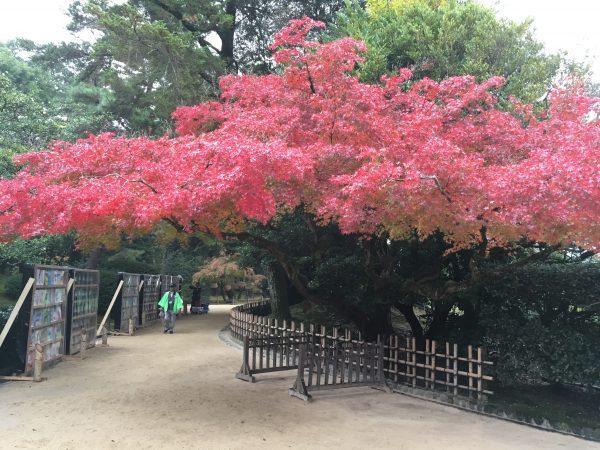 Japanese Garden Maple