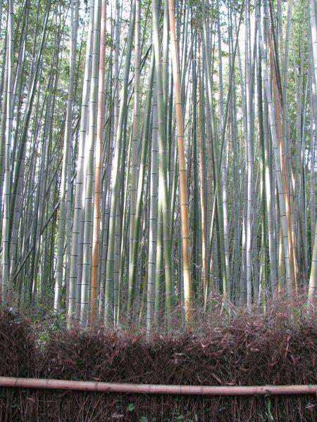 Japanese Garden Bamboo