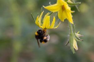bumblebee pollinating tomato flower