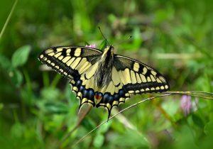 butterfly pollinating garden