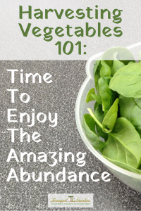 Harvesting Vegetables 101: Time To Enjoy The Amazing Abundance - Eating fresh veggies right from your garden is the reward for the weeks of taking care of them. Get tips on harvesting vegetables at the peak of perfection.