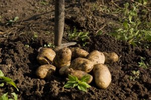 Digging up Potatoes with a Garden Fork