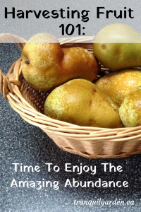 Harvesting Fruit 101: Time To Enjoy The Amazing Abundance - Eating fresh fruit right from your garden is the reward for the weeks of taking care of them. Get tips on harvesting fruit at the peak of perfection.