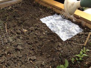 watering lettuce seed sheet