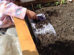 covering up lettuce seed sheet