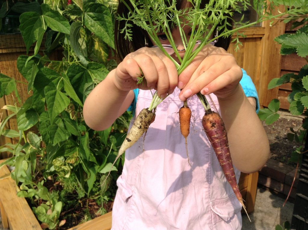 little girl holding up three small carrots grown in her garden