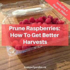 red raspberries in a clamshell container with overlay text