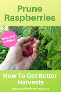 picking a handful of raspberries