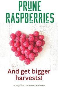 Pruning Raspberries