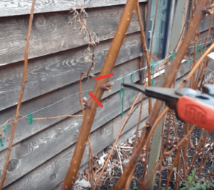 two raspberry buds with pruners and red lines showing where to prune