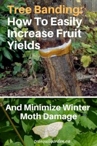 fruit tree trunk with resin impregnated banding and image of winter moth below and overlay text