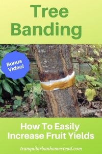 tree banding on plum tree
