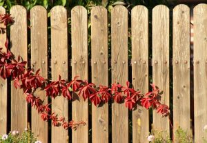 board fence with red ivy