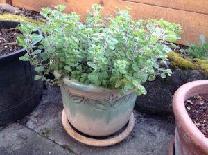 Oregano in a pot
