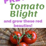 How to Avoid Tomato Blight
