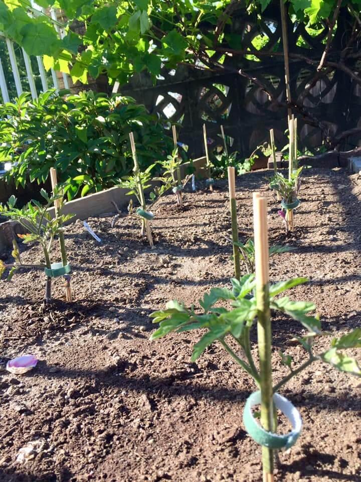 Ayako's Tomato Plant seedlings