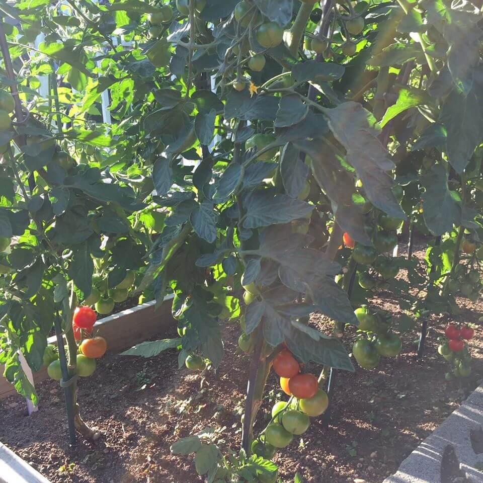 Ayako's Tomato Plants