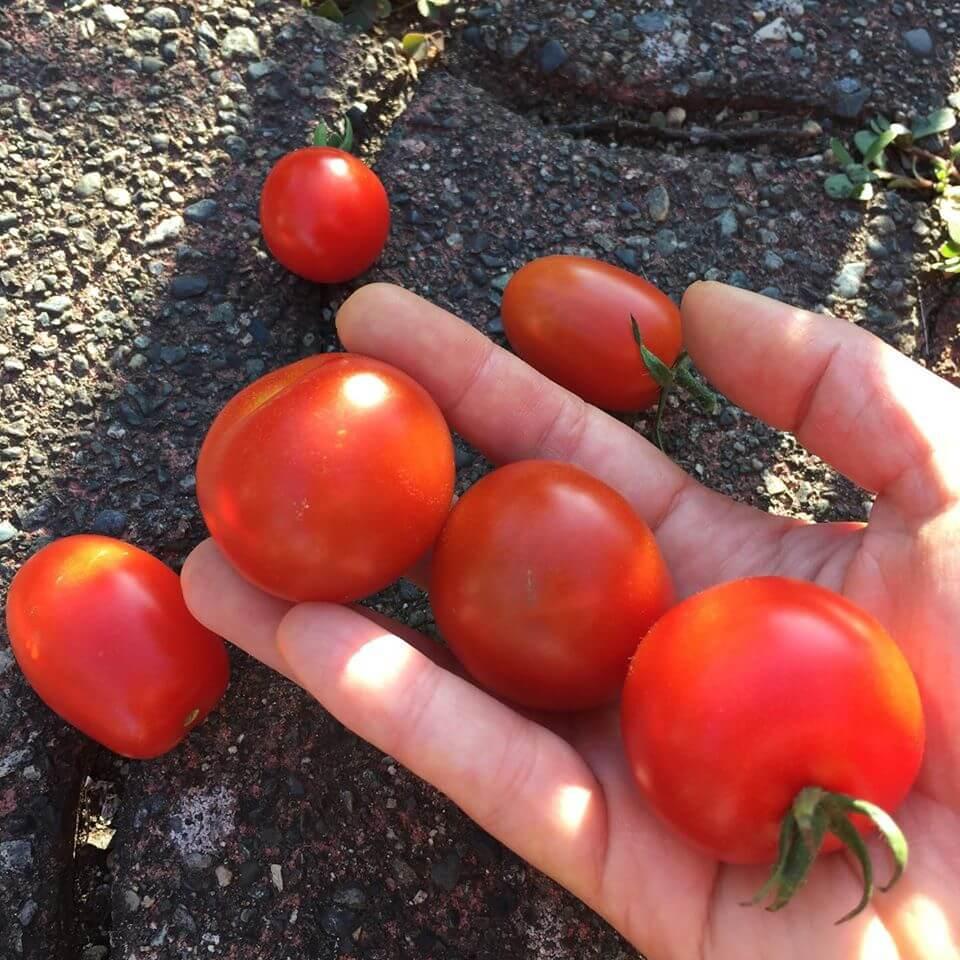 Ayako's Tomatoes