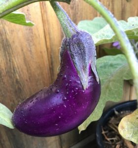 eggplant with water drops